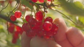 Żniwo koślawy rodzynek od krzaka Zakończenie jagody i ręki zbiory