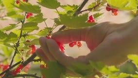 Żniwo koślawy rodzynek od krzaka Zakończenie jagody i ręki zdjęcie wideo