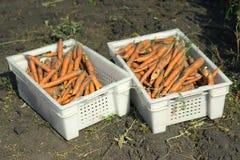 Żniwo marchewki w zbiornikach na gospodarstwie rolnym obrazy royalty free