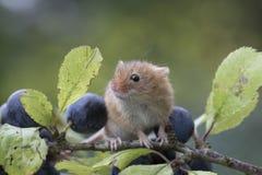 Żniwo mysz, myszy zamyka w górę portreta obsiadania na osecie, kukurudza, banatka, brambles, sloe, stokrotka, kwiaty obraz stock