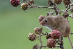 Żniwo mysz, myszy zamyka w górę portreta obsiadania na osecie, kukurudza, banatka, brambles, sloe, stokrotka, kwiaty zdjęcie stock