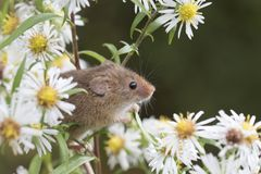 Żniwo mysz, myszy zamyka w górę portreta obsiadania na osecie, kukurudza, banatka, brambles, sloe, stokrotka, kwiaty zdjęcia stock