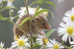 Żniwo mysz, myszy zamyka w górę portreta obsiadania na osecie, kukurudza, banatka, brambles, sloe, stokrotka, kwiaty obrazy stock