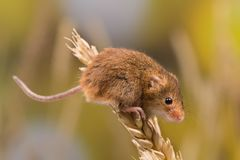 Żniwo mysz na pszenicznej gałązce obrazy stock