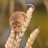 Żniwo myszy pięcie Zdjęcia Stock