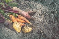 Żniwo organicznie warzywa zbierający na gospodarstwie rolnym jest na ziemi Buraki, marchewki, grule kłamają w słońcu obraz stock