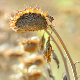 żniwo słonecznik Zdjęcia Stock