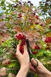 Żniwo viburnum jagody obrazy royalty free
