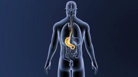 Żołądek z organami royalty ilustracja