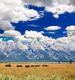 żubrów uroczysty park narodowy teton obraz royalty free