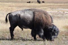 Żubr, żubra żubr Ssak w Yellowstone Nat Park obraz royalty free