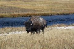 Żubr, żubra żubr Ssak w Yellowstone Nat Park fotografia stock