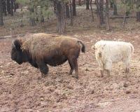 Żubr i biały żubr zdjęcia stock