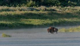 Żubr I mgła w Małego Missouri rzece obrazy stock