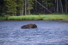 Żubr krzyżuje Yellowstone rzekę zdjęcie royalty free
