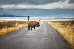 Żubr na drodze w Uroczystym Teton parku narodowym, Wyoming, usa zdjęcie royalty free