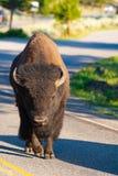 Żubr na drodze w Yellowstone parku narodowym, Wyoming USA zdjęcie stock