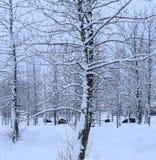 Żubr odpoczywa w śniegu zdjęcie royalty free