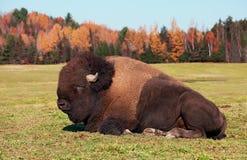 Żubr także znać jako Amerykański bizon fotografia stock