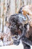 Żubr w śniegu, łoś wyspy park narodowy, Alberta, Kanada obrazy royalty free