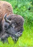 Żubr w deszczu, łoś wyspy park narodowy, Alberta, Kanada obraz stock