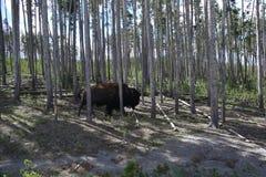 Żubr w lesie obrazy royalty free