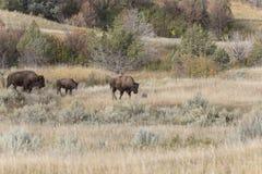 Żubr w Północnym Dakota zdjęcia stock