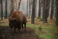 Żubr w rezerwie Białoruś na tle las fotografia stock