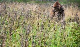 Żubr w rezerwie w wiośnie zdjęcia stock