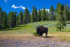 Żubr w Yellowstone parku narodowym, Wyoming USA obrazy royalty free