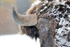 Żubr w zima zdjęcia stock