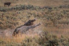 Żubr Wallows w pyle Podczas bekowiska obrazy royalty free