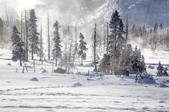 Żubr wlec się przez zim poly fotografia royalty free