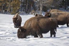 żubra np zima Yellowstone zdjęcie stock