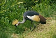 żuraw koronowany Kenya fotografia stock
