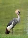 żuraw koronujący zdjęcie royalty free