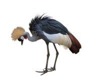 żuraw koronujący Fotografia Royalty Free