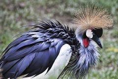 żuraw koronujący grey Zdjęcia Royalty Free