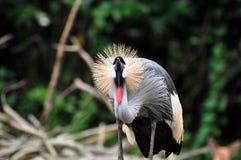 żuraw koronujący grey Obraz Stock