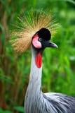 żuraw koronujący grey Zdjęcie Stock