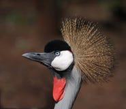 żuraw koronujący grey Zdjęcia Stock