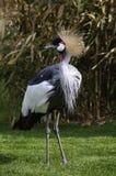 żuraw koronujący grey Obrazy Royalty Free