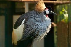 żuraw koronujący profil Fotografia Stock