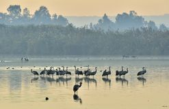 Żurawia kierdel przy Wschód słońca jeziorem mgły domu krajobrazu ranek sylwetki drzewa Zdjęcia Stock