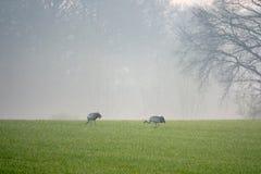2 żurawia szuka jedzenie w polu wcześnie rano obrazy stock