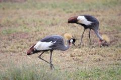 żurawie koronujący para Fotografia Royalty Free