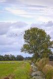 Żurawie zbierają w Brandenburg, blisko Nauen Obraz Stock