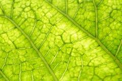 żyła liści, Zdjęcie Stock