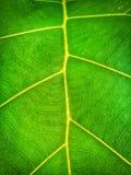 żyła liścia tło obraz royalty free