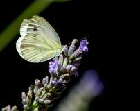 żyłkowaty zieleń biel Zdjęcie Royalty Free